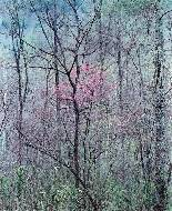 Redbud tree in Bottomland, near red river Gorge, Kentucky, 1968